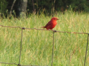 Summer Tanager (he)