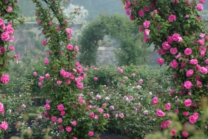 June says Roses to me so I chose a picture of a great rose garden today.